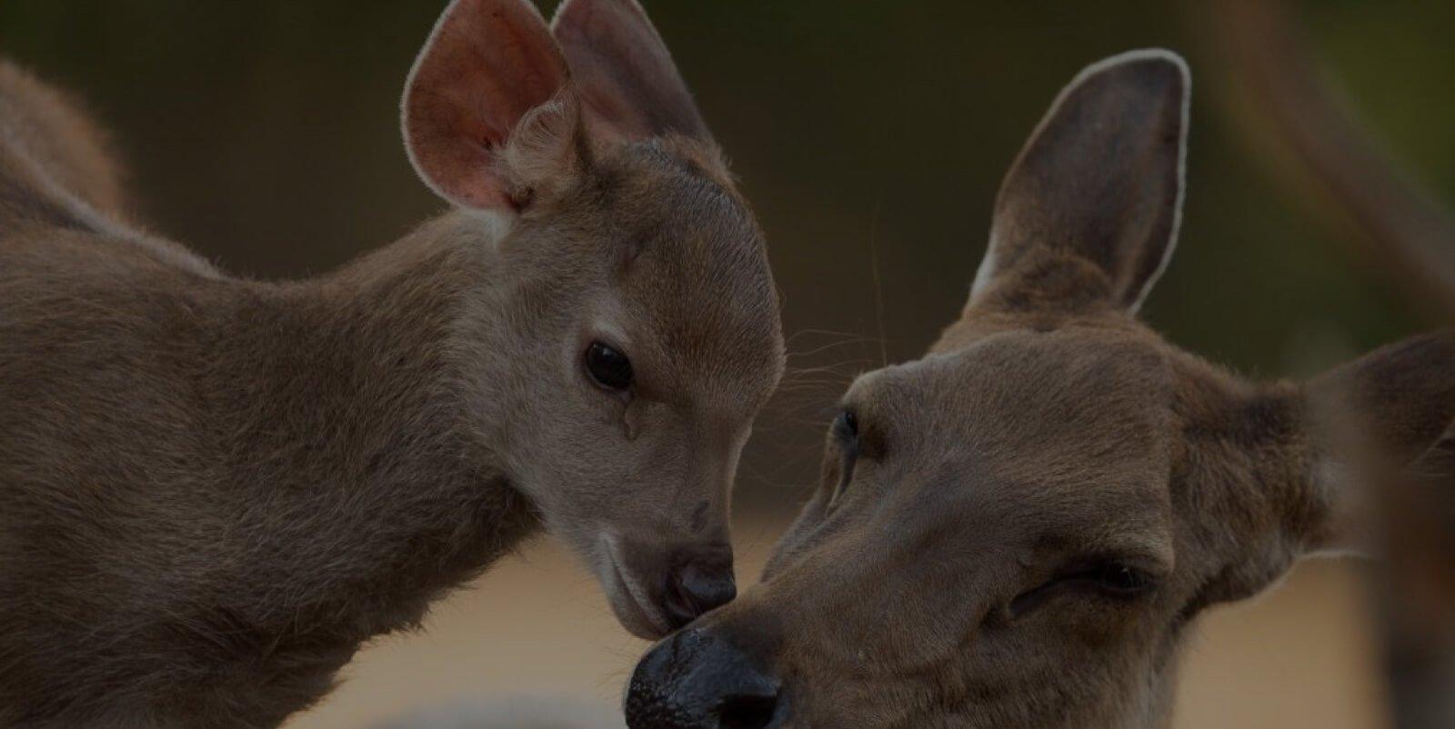 Sambar_Deer.jpg