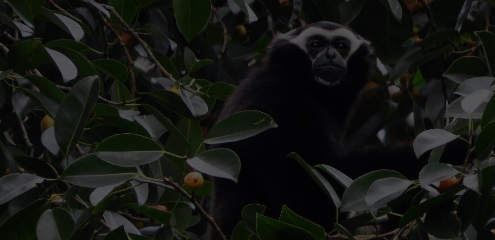 White_handed_Gibbon_Pileated_Gibbon.jpg